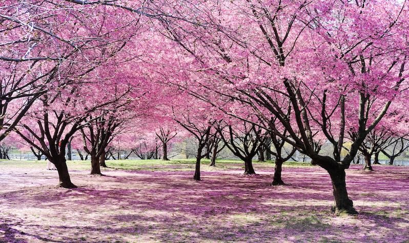 NYC Parks Cherry Blossoms Opens in new window